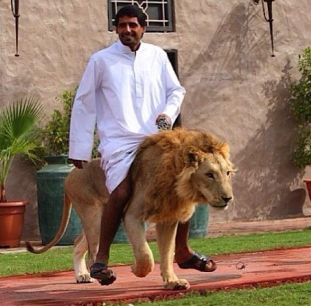 Jalan-jalan dengan singa