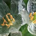 bunga Transparan