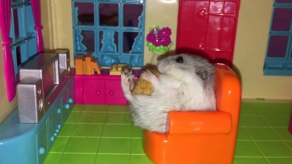 Hamster Ini Hidupnya Mirip Orang Kaya 4
