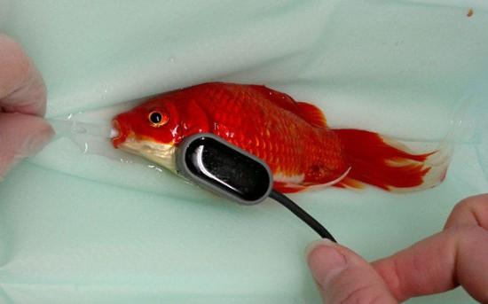 Ikan Mas Kesayangan Sembelit, Rp 6 Juta Melayang 1
