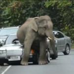 Musim Kawin, Seekor Gajah Melakukannya Pada Sebuah Mobil 2 USATODAY