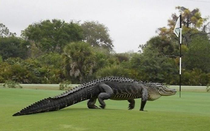 Buaya Masuk ke Lapangan Golf (c) Washingtonetimes