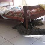 Seekor Buaya di Bawah Tempat Tidur (c) oddee