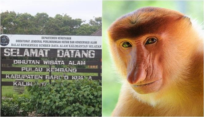 Mitos Bekantan Monyet Hidung Mancung Kalimantan Yang Disebut Sebagai Jelmaan Belanda Boombastis