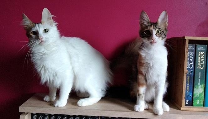 Kucing anggora betina bulu putih. Sumber gambar Wikimedia Commons Vinydeluz