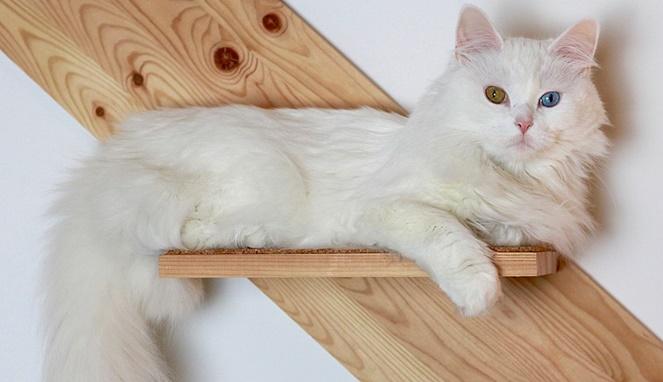 Kucing anggora mata biru dan emas. Sumber gambar Wikimedia Commons Franzioseph