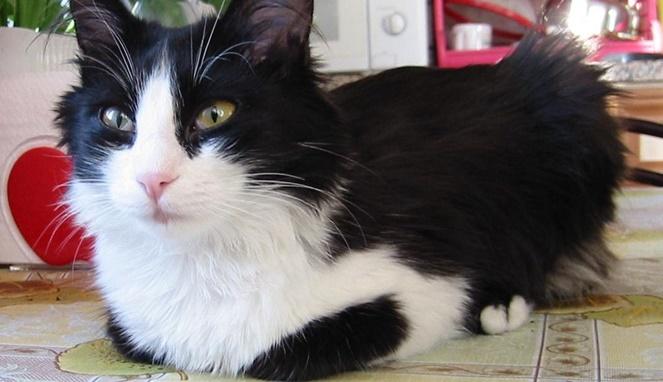 Kucing anggora putih hitam. [Sumber gambar]